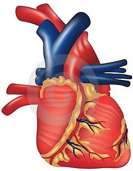 Hechos Y Datos Fascinantes Sobre El Corazón Humano
